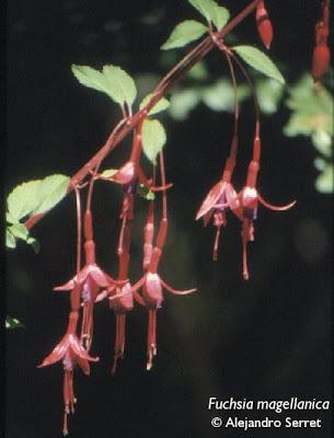 Aljaba Fuchsia magellanica