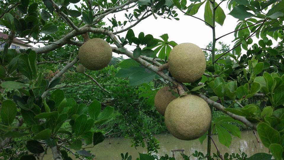 buah kawista di pohon