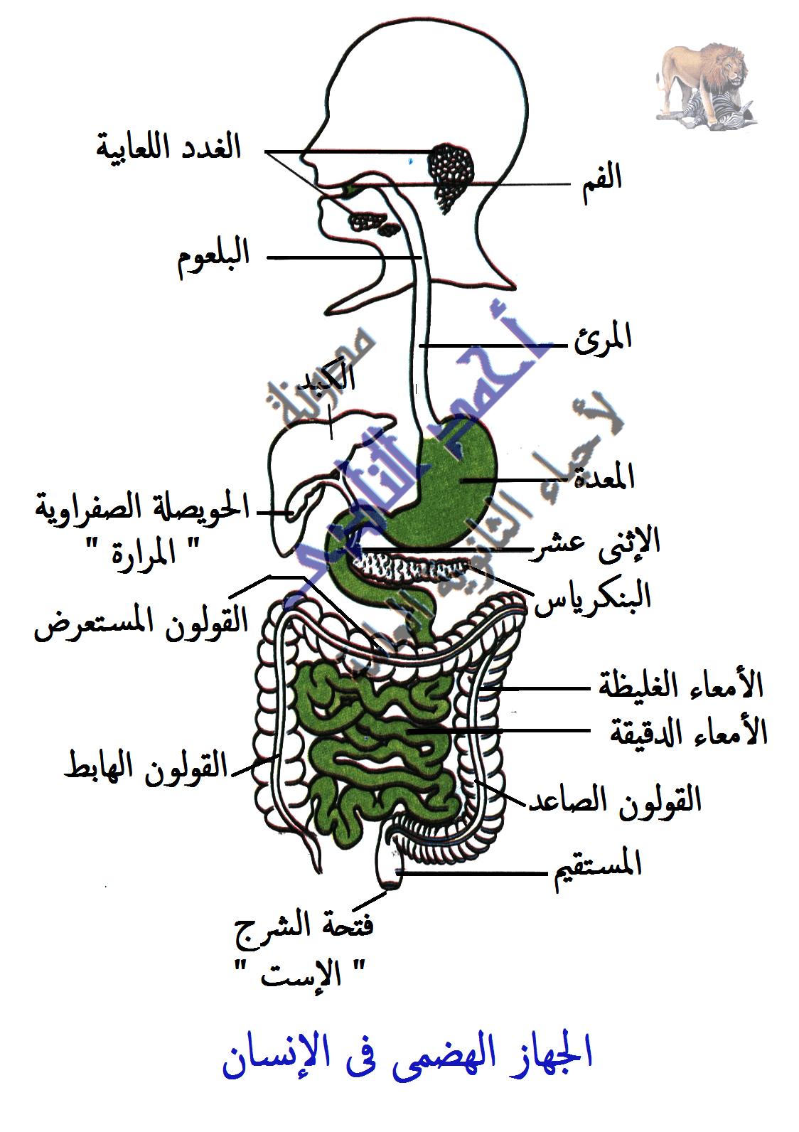 الهضم فى الإنسان -  الجهاز الهضمى - الفم - المعدة - الأمعاء الدقيقة والغليظة -  مدونة أحمد النادى لأحياء الثانوية العامة