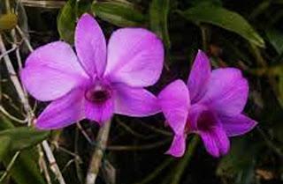 Gambar Anggrek Larat (Dendrobium phalaenopsis)