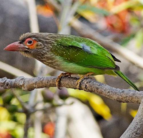 Birds of India - Photo of Brown-headed barbet - Psilopogon zeylanicus