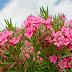 Oleander-Nerium Oleander-Kaneer-گنڈیرے۔کنیر