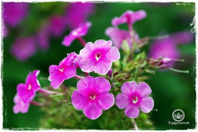 Gartenblog Topfgartenwelt Buchvorstellung: Traumhafte Landgärten durch die Jahreszeiten - Phlox