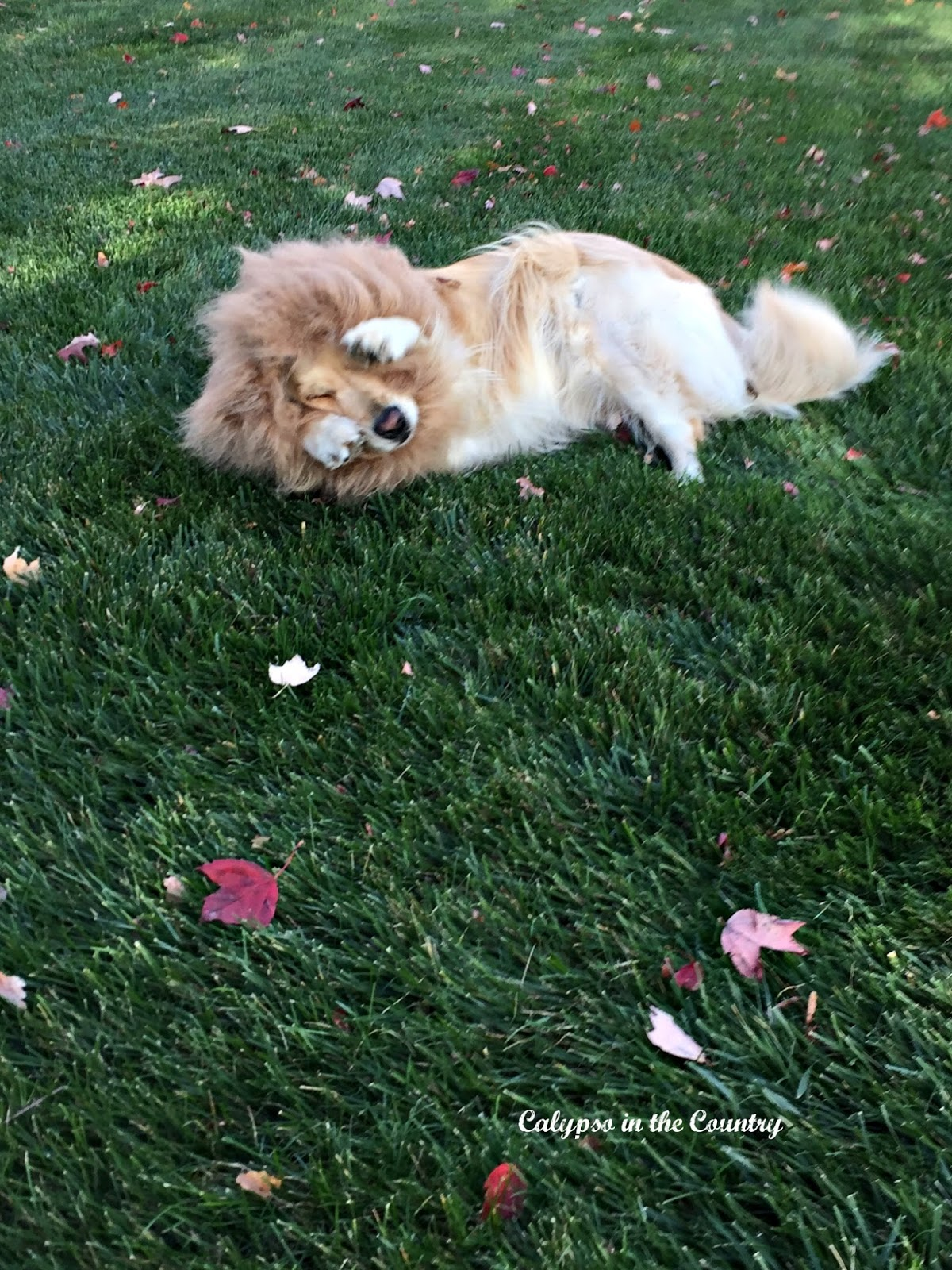 Golden Retriever dressed as a lion for Halloween