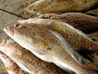 Inilah Triknya Budidaya Ikan Kerapu Di Daerah Pesisir Pantai