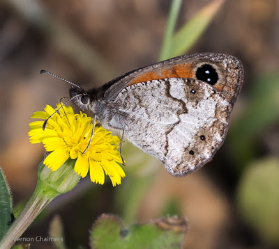 Tiny Butterfly with a Zoom Lens - Woodbridge Island, Cape Town