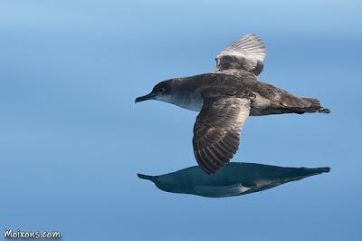 Baldriga balear (Puffinus mauretanicus)