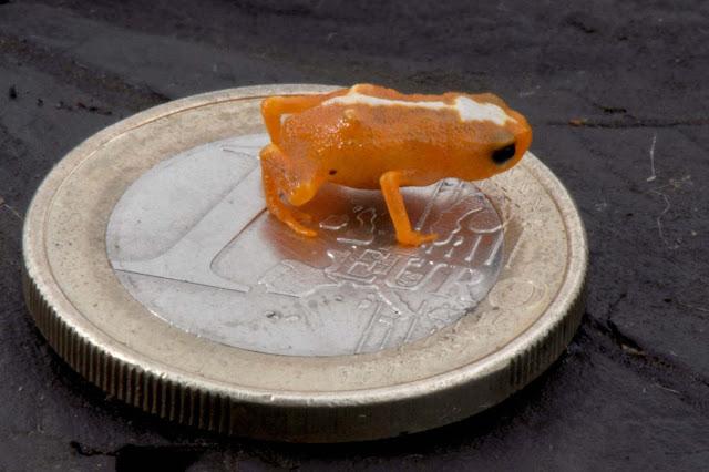 Nova espécie de mini sapo é descoberta no norte de Santa Catarina