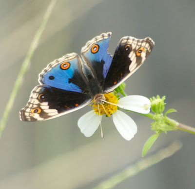 Blue Pansy (Junonia orithya wallacei)