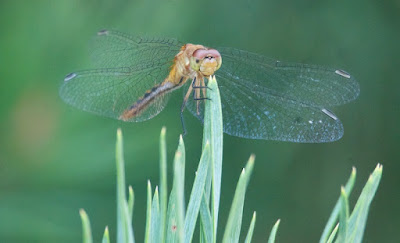 Ruby or Cherry-faced Meadowhawk (Sympetrum rubicundulum or internum)