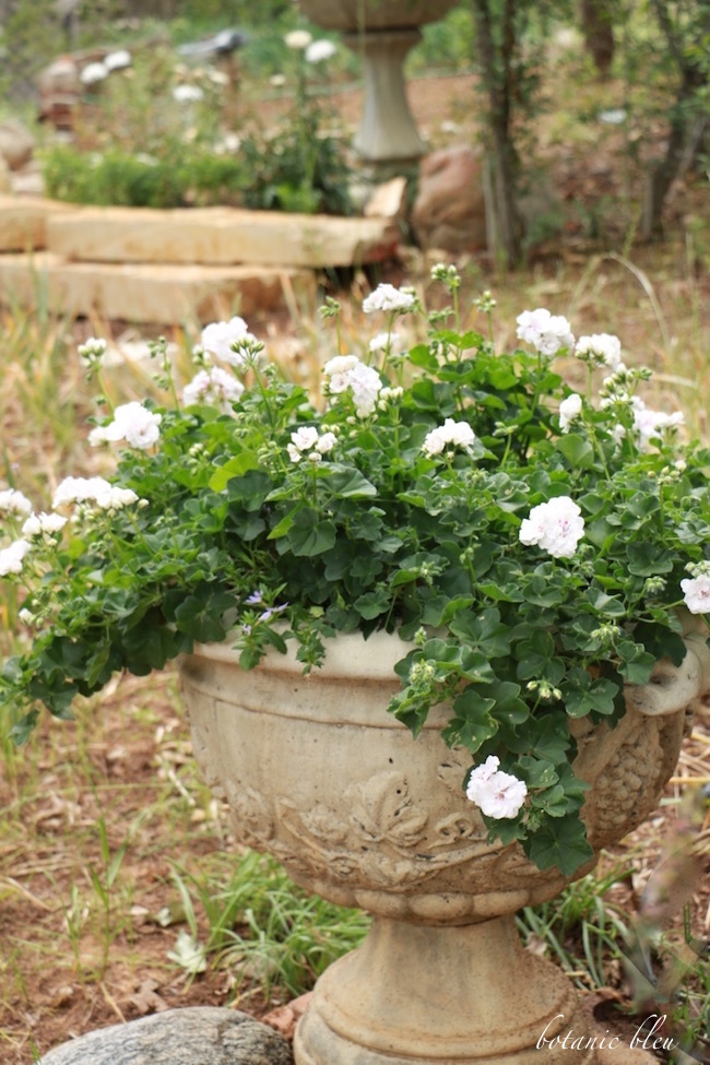 white-trailing-geraniums-in-french-design-urn