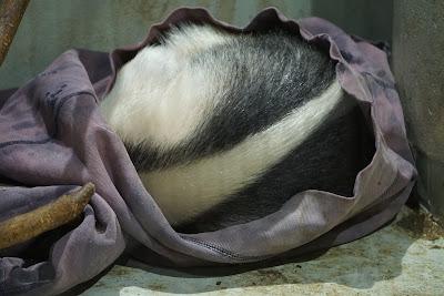 丸まって眠るミナミコアリクイ