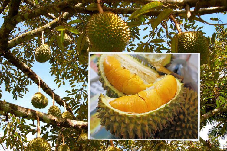 Cara Menam Pohon Durian Agar Buah Lebat dan Berkualitas