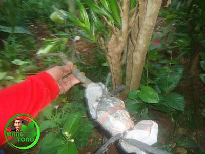 Cangkokan sudah dipisahkan dari pohon indukannya.