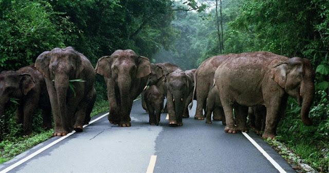 Крупное стадо слонов в Као Яй, Таиланд