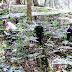 Khám phá tìm hiểu về thảo dược sâm Ngọc Linh tự nhiên Kon Tum