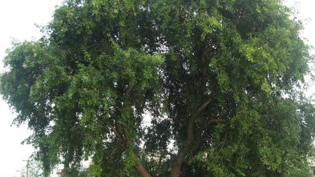 शीशम वृक्ष का उपयोग क्या है