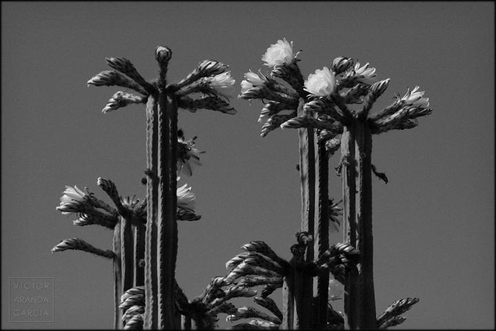 fotografia,murcia,naturaleza,san_jose_de_la_montaña,cactus,flores