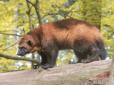 Wolverine - animals That Start with letter W