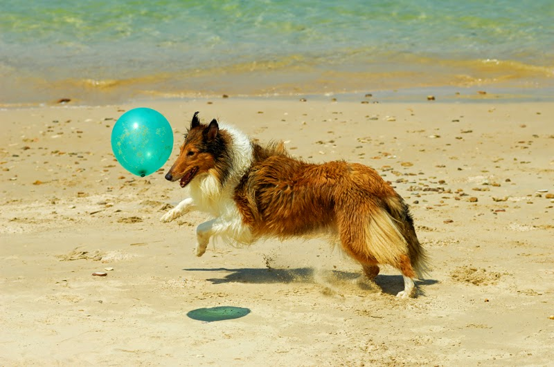 A happy collie dog chases a blue balloon at the beach