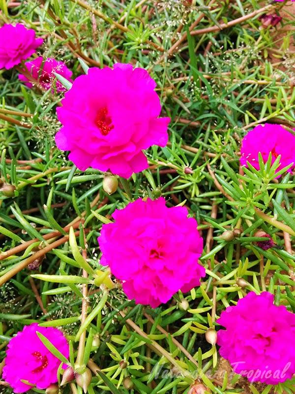 Variedad moñuda de la flor Diez del Día (Portulaca pilosa)