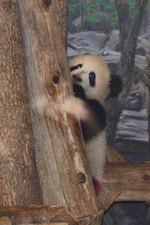 Panda baby hiding behind a tree.
