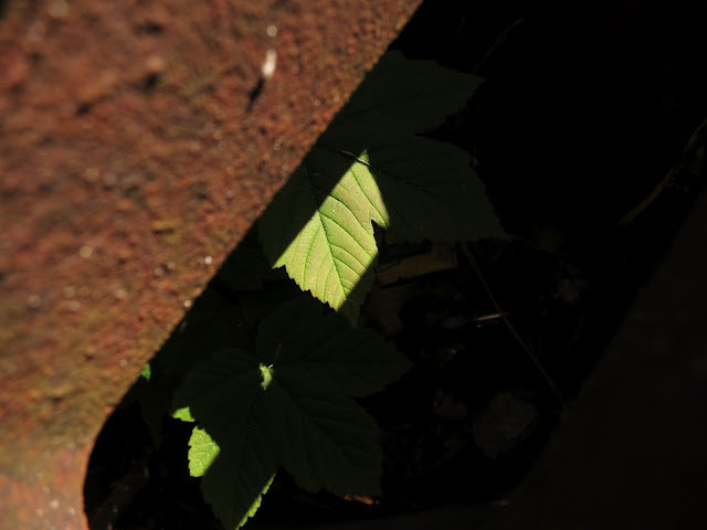 The leaf of a sycamore tree growing in a street drain glimpsed between the bars of its cover.