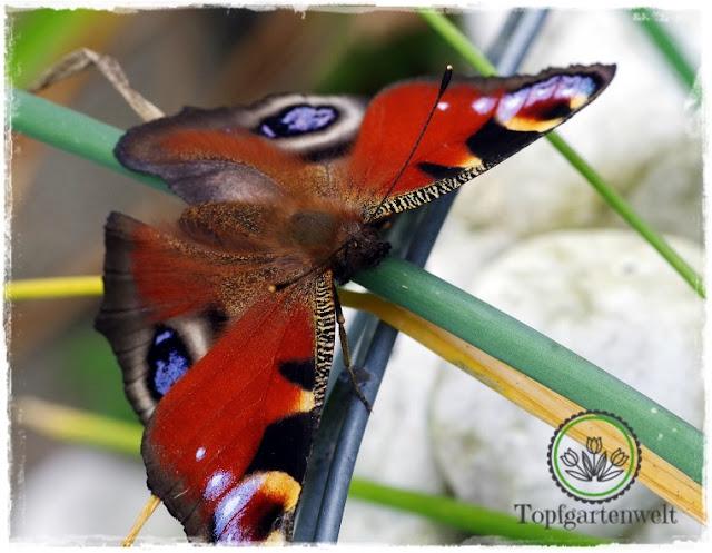 Gartenblog Topfgartenwelt Schmetterlingsgarten: Tagpfauenauge im Garten anlocken Pflanzen Zinnie Schmetterlingsflieder