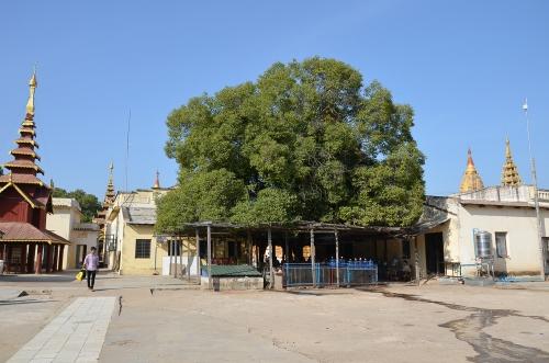 CHAYAR TREE, SHWEZIGON, BIRMA, KRÓLESTWO PAGANU, BAGAN, NATY, JOLA STĘPIEŃ