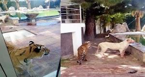 Fotografias: Tenia viviendo en su casa leones y tigres y lo terminan atacando dejándolo gravemente herido al dueño en Ciudad Juárez