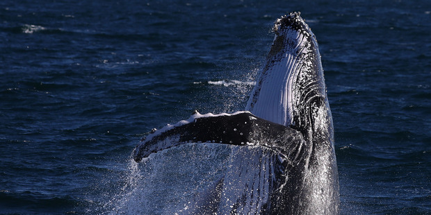 Research reveals whales have been singing low frequency longer than thought