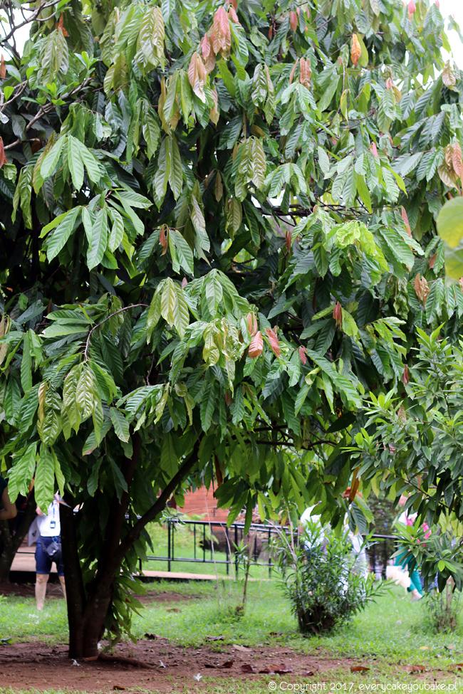drzewo kakaowca na Sri Lance