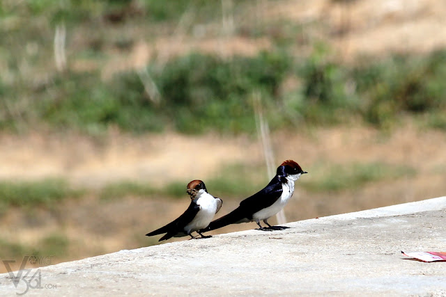 Wire-tailed Swallow(18 cm) - Bhairasagara Lake