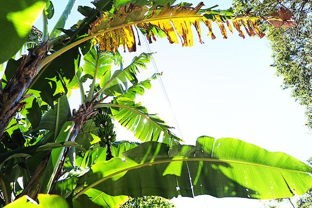 Nasadi banan pri Laguna de Alegria