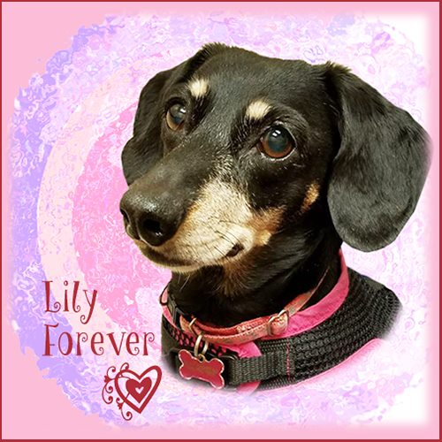 Lily - in our hearts forever