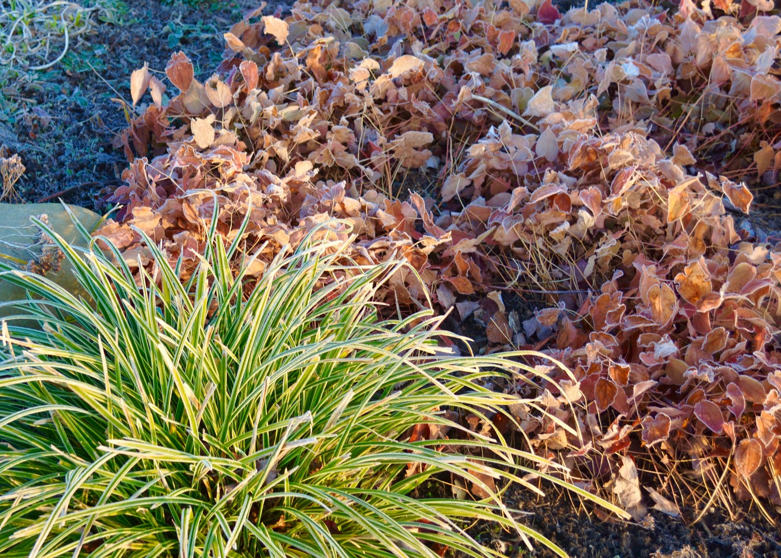 ... But The Warm Color Is Nice With A Clump Of Still Green U0027Ice Danceu0027 Carex  Next To It. These Are Two Tough Plants That Laugh At Winter.