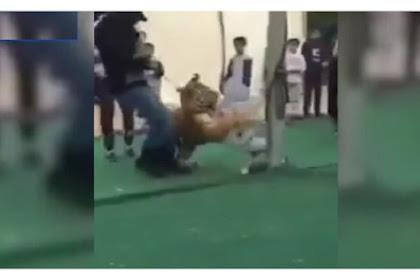Rekaman Mengerikan Gadis Kecil Diterkam Harimau
