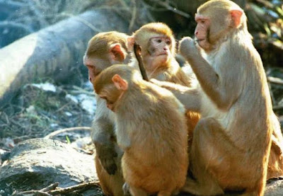 Story Of Monkeys Chasing People From Their Houses In Lagos