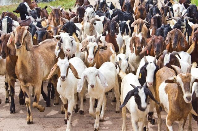 Daging kambing termasuk kedalam jenis daging merah yang banyak dikonsumsi oleh masyarakat 12 Manfaat Daging Kambing dan Efek Sampingnya Untuk Kesehatan