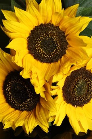 iPhoneZone: Sunflower iPhone Wallpapers
