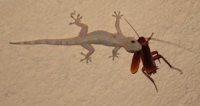 Lagartixa, um pequeno lagarto, que gruda nas paredes. Vive tanto dentro como fora das casas. Vai atrás de pequenos insetos como as lagartas, formigas, moscas, percevejos, besouros e mosquitos que habitam esses lugares. É sempre bem-vinda em locais que tenham insetos, pois evita a proliferação dos mesmos, incluindo os pernilongos que têm causado tantos prejuízos à nossa saúde!