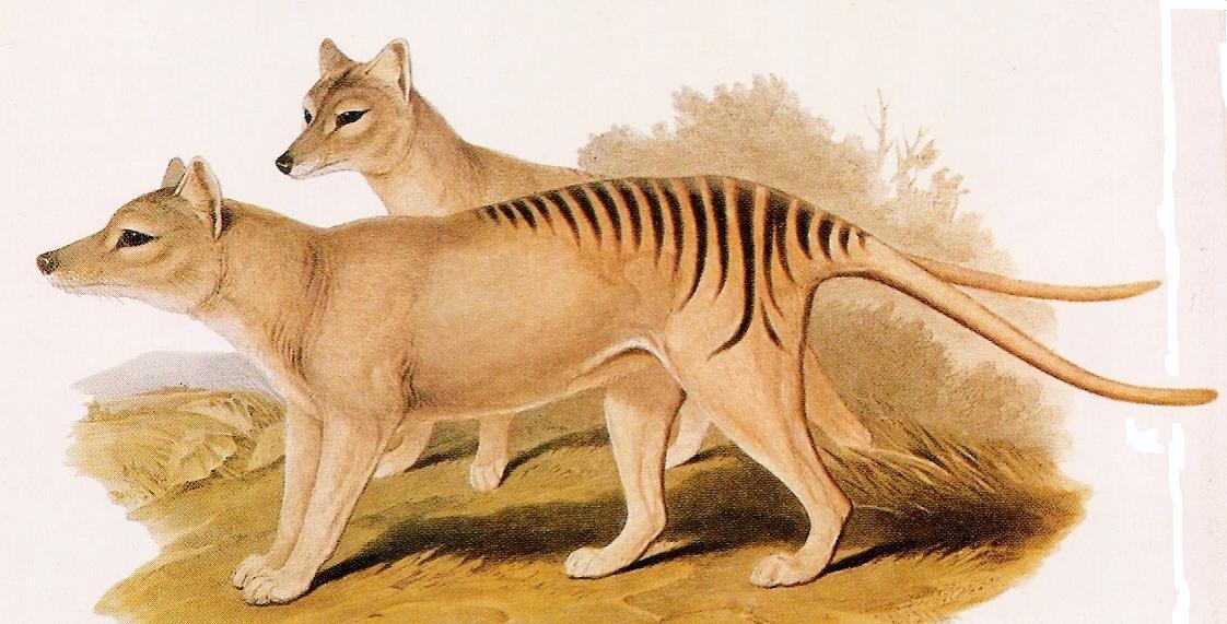reconstruindo o passado noticias tigre da tasmânia ou lobo da