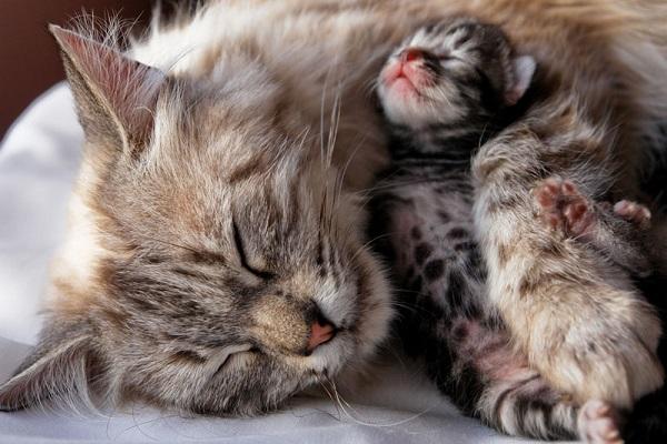 penyebab induk kucing membunuh atau memakan anaknya sendiri