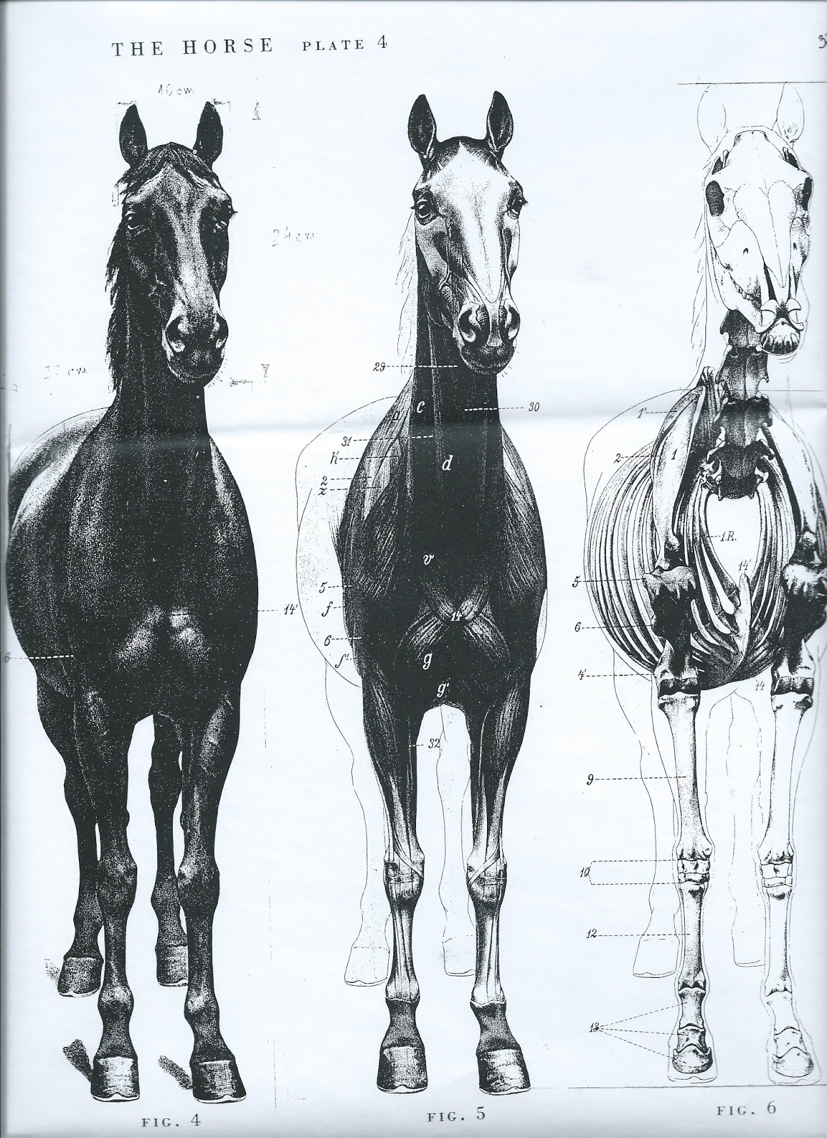 Horsepower Horse Anatomy And Movement