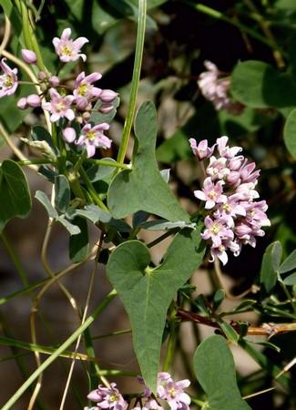 Cynanchum sibiricum