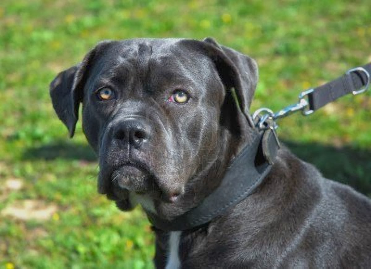 Cane Corso Italian Mastiff wallpapers