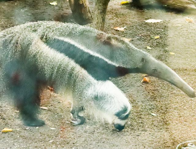 tamanoir du zoo de vincennes