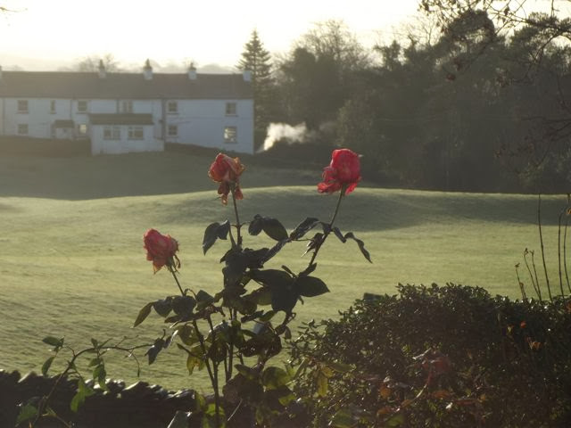 Roses in bloom at Christmas