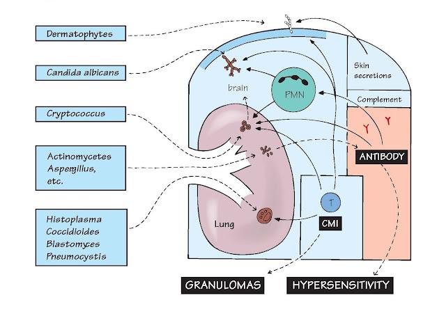 Immunity To Fungi And Ectoparasites