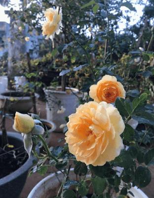 Hoa hồng 10